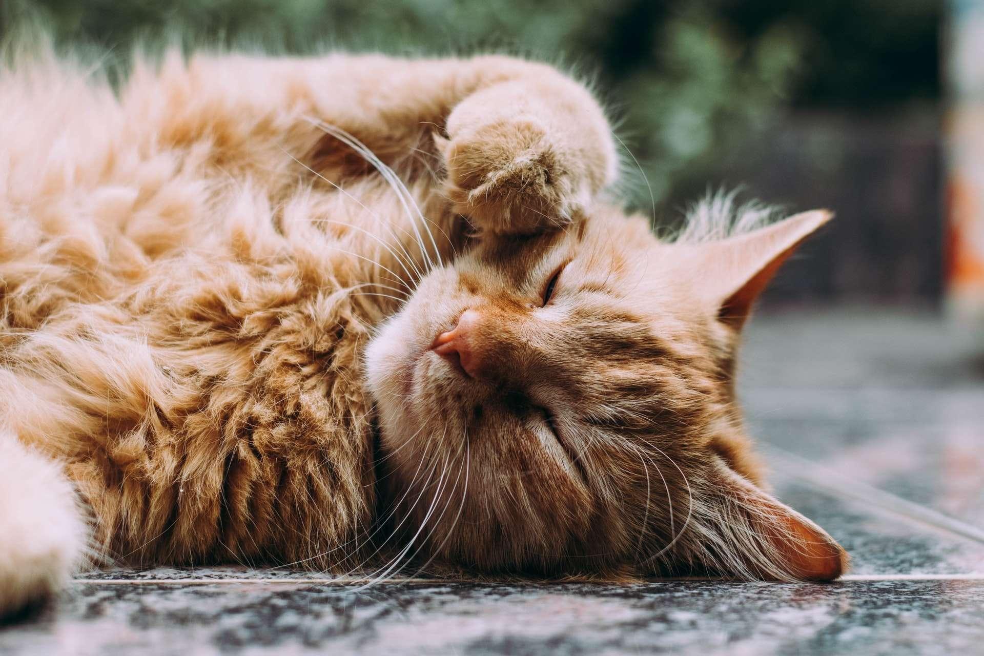 Kediler Neden Tüy Döker? Kedilerde Tüy Dökümü Nasıl Engellenir?