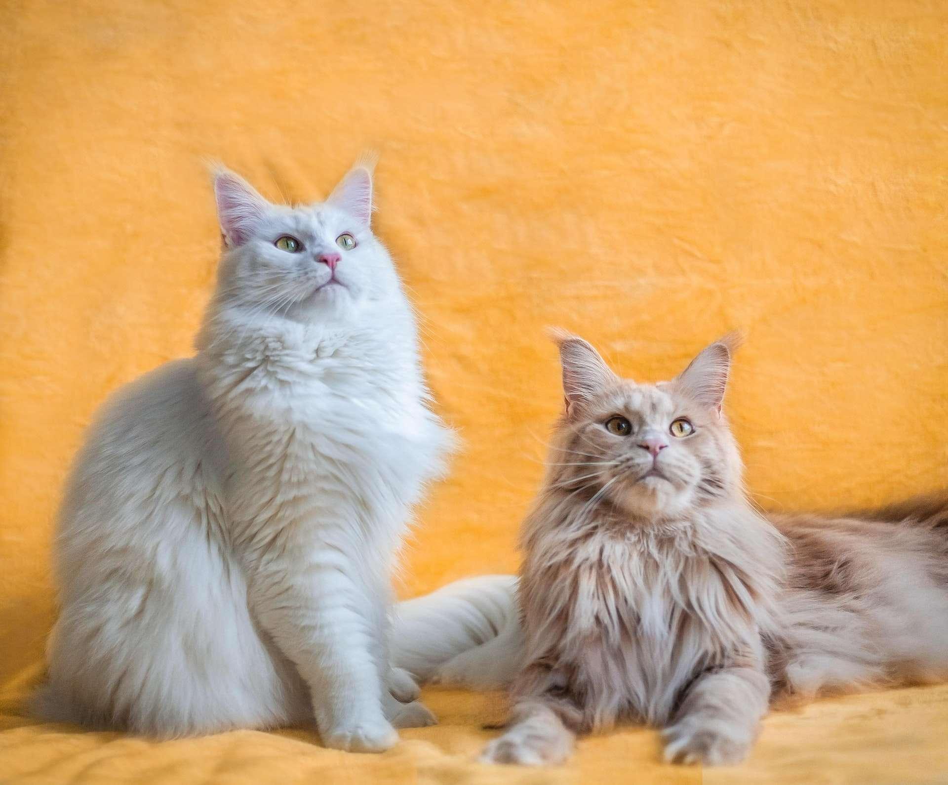 Kediler Evde Birbirlerine Nasıl Alıştırılır?