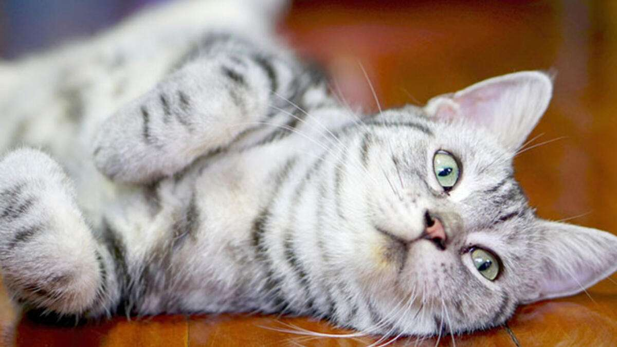 Kedilerde Kulak Enfeksiyonu Belirtileri ve Tedavi Yöntemleri