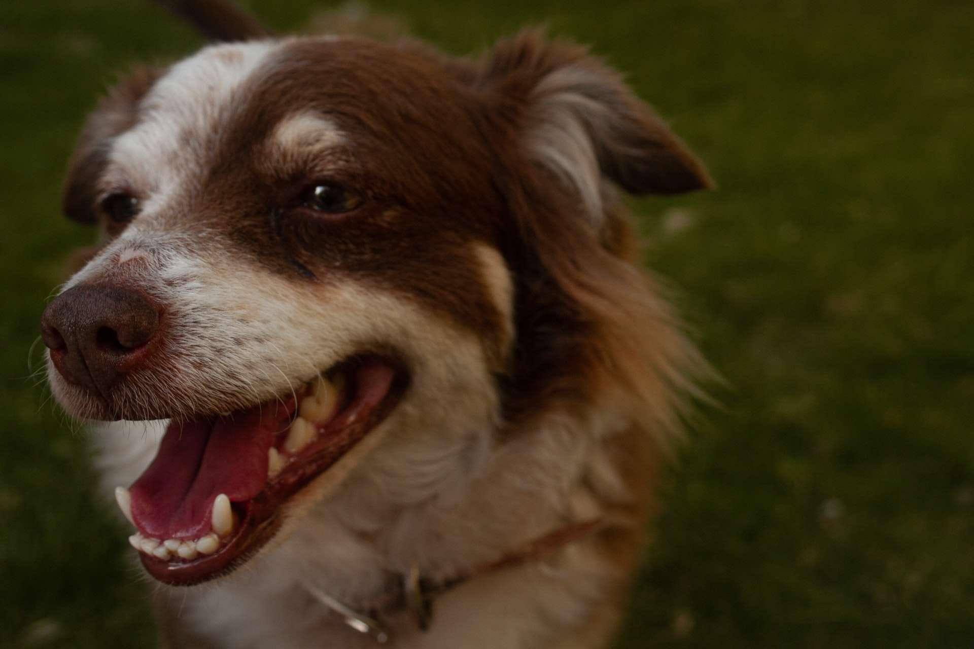 Köpeklerde Ağız ve Diş Bakımı Nasıl Yapılır?
