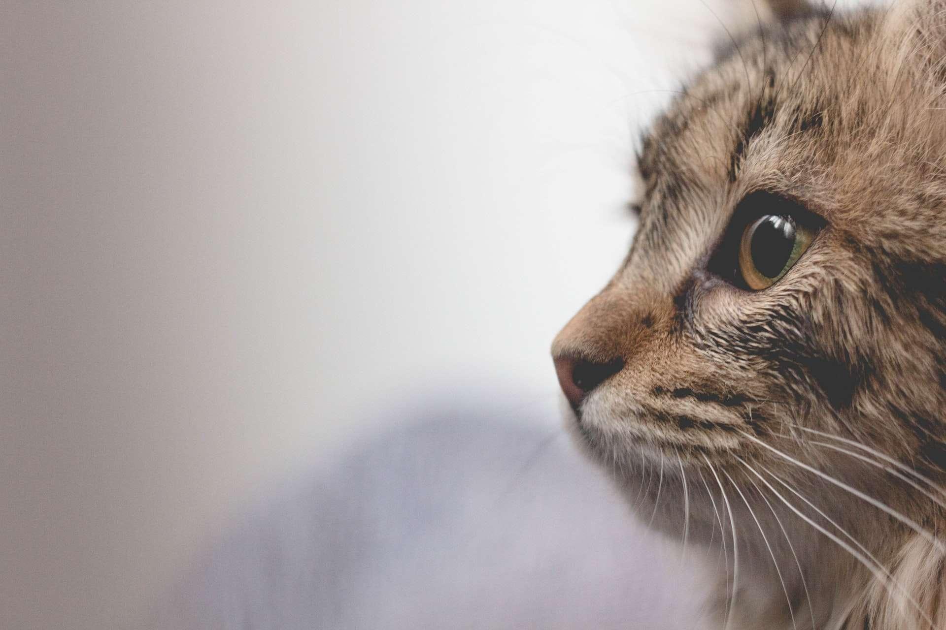 Kediler Kaybolduğunda Nereye Gider? Evden Neden Kaçarlar?