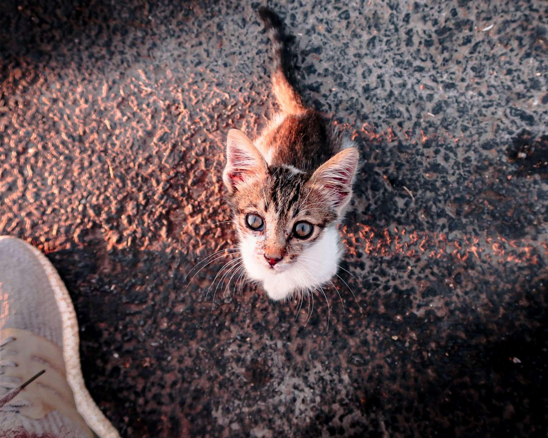 Annesiz Bir Yavru Kedi Bulunduğunda Ne Yapılmalı?