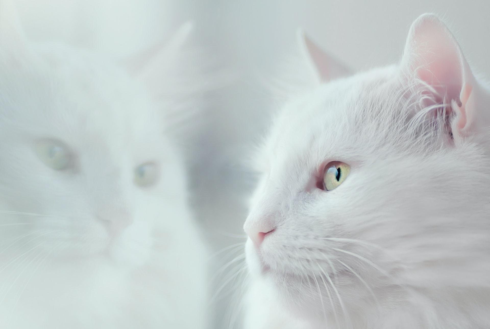 Kedi Piresi İçin Doğal Yöntemler Nelerdir?