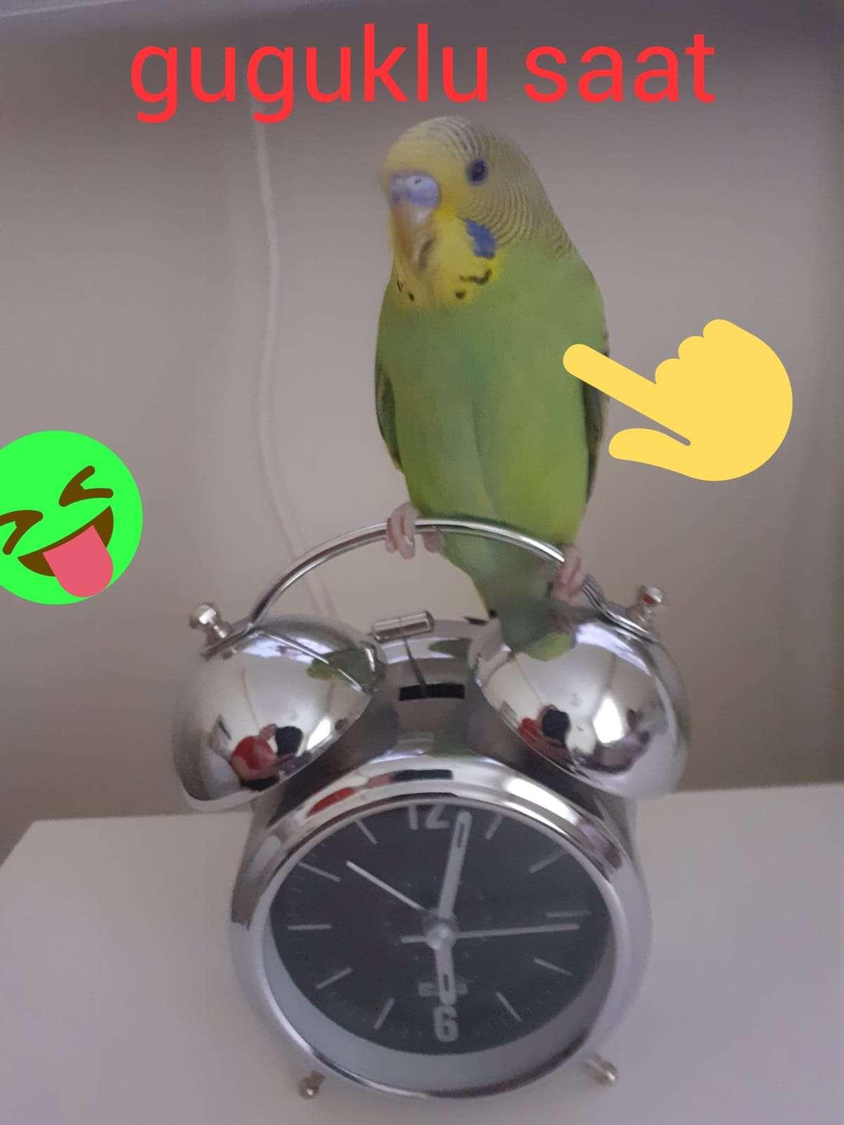Kayip muhabbet kuşu üzüm