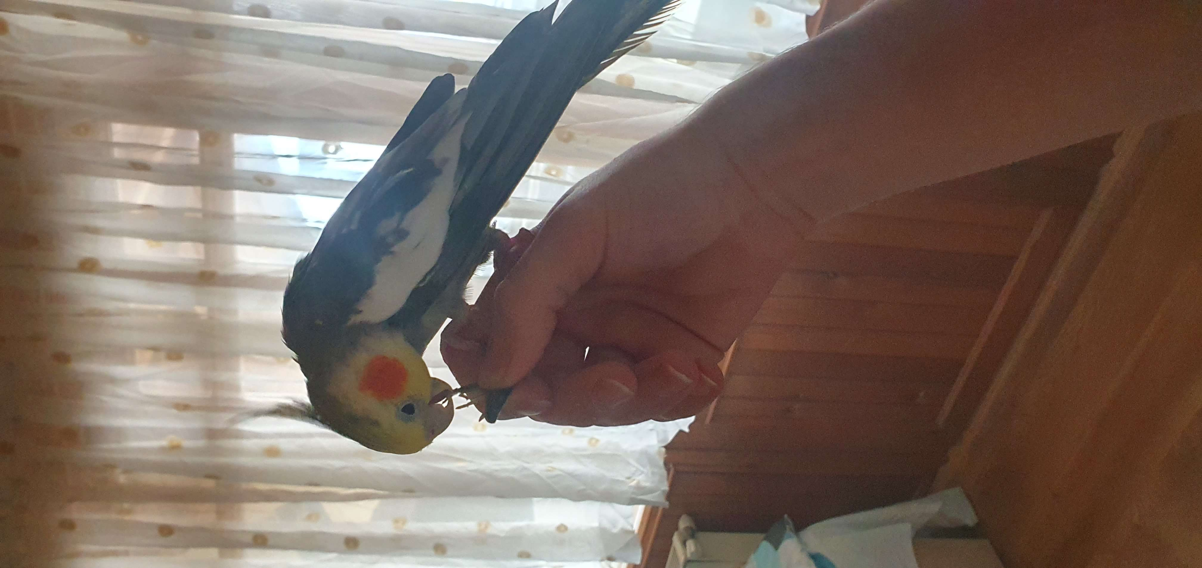 Kısıklıda kaçan sultan papağanı