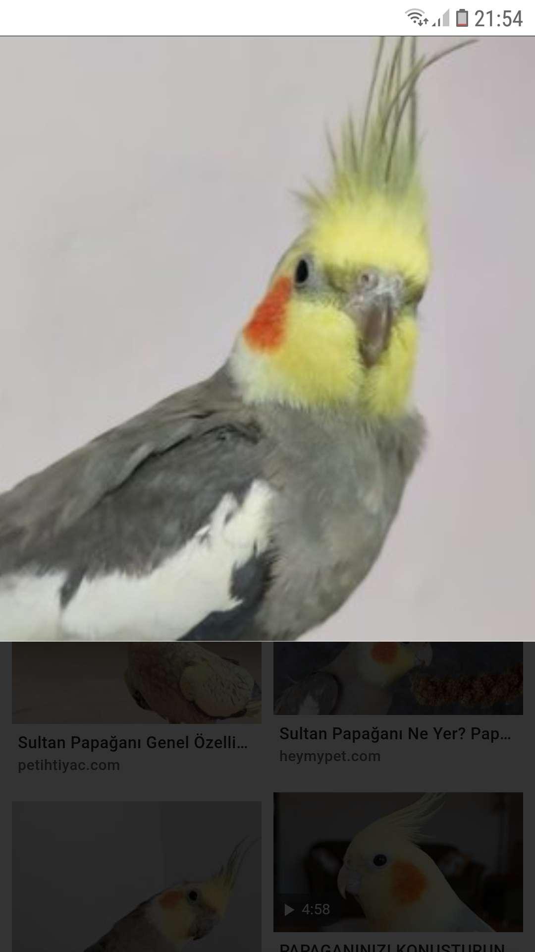 Kayıp sultan papaganı
