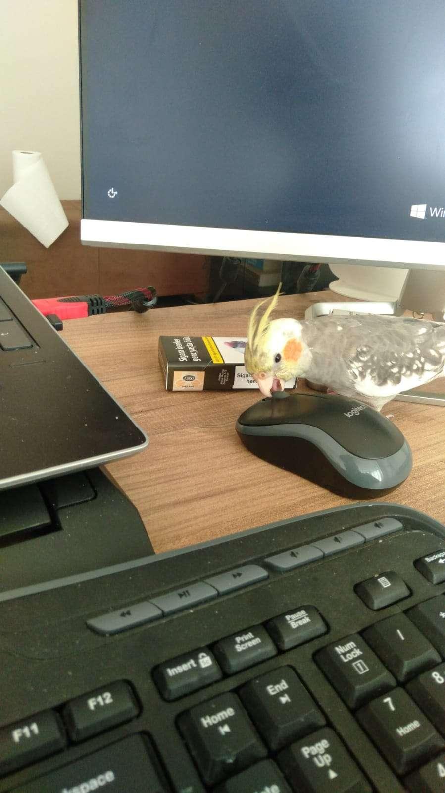 Sultan papağanı kayıp