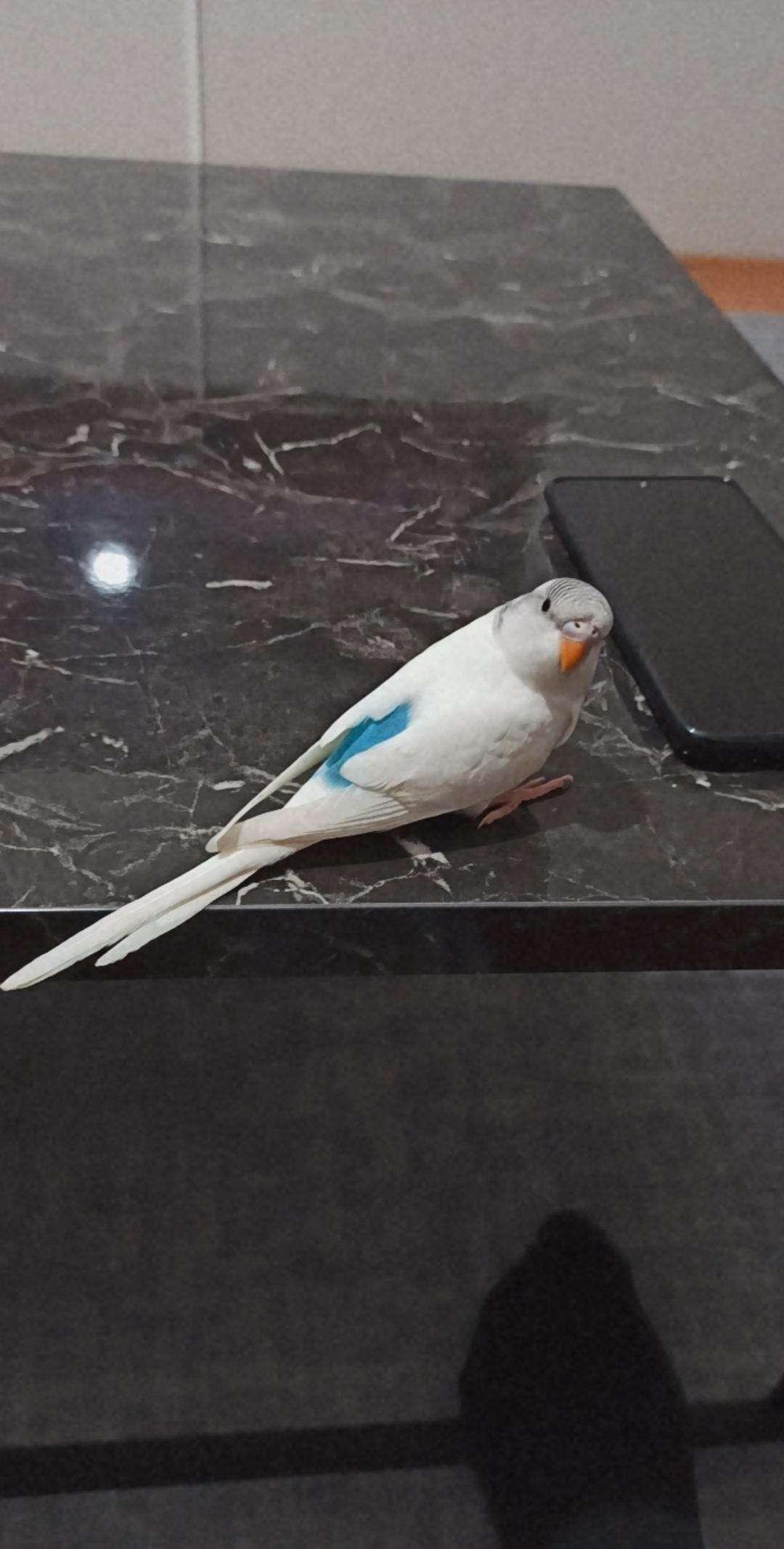 Muhabbet kuşu Çiko kayıp