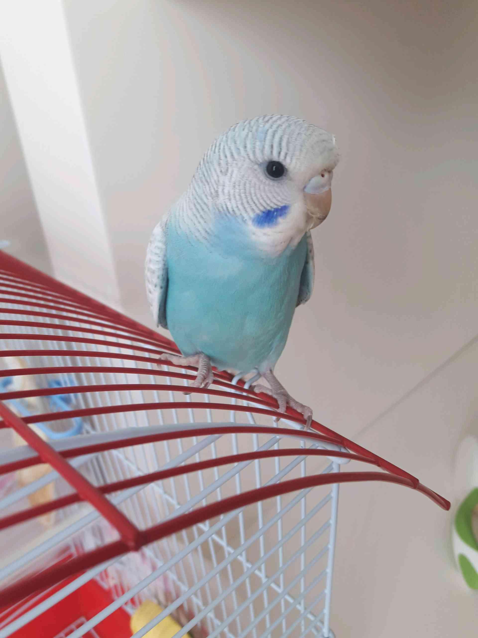 İstanbul Esenyurtta Muhabbet kuşum kayboldu