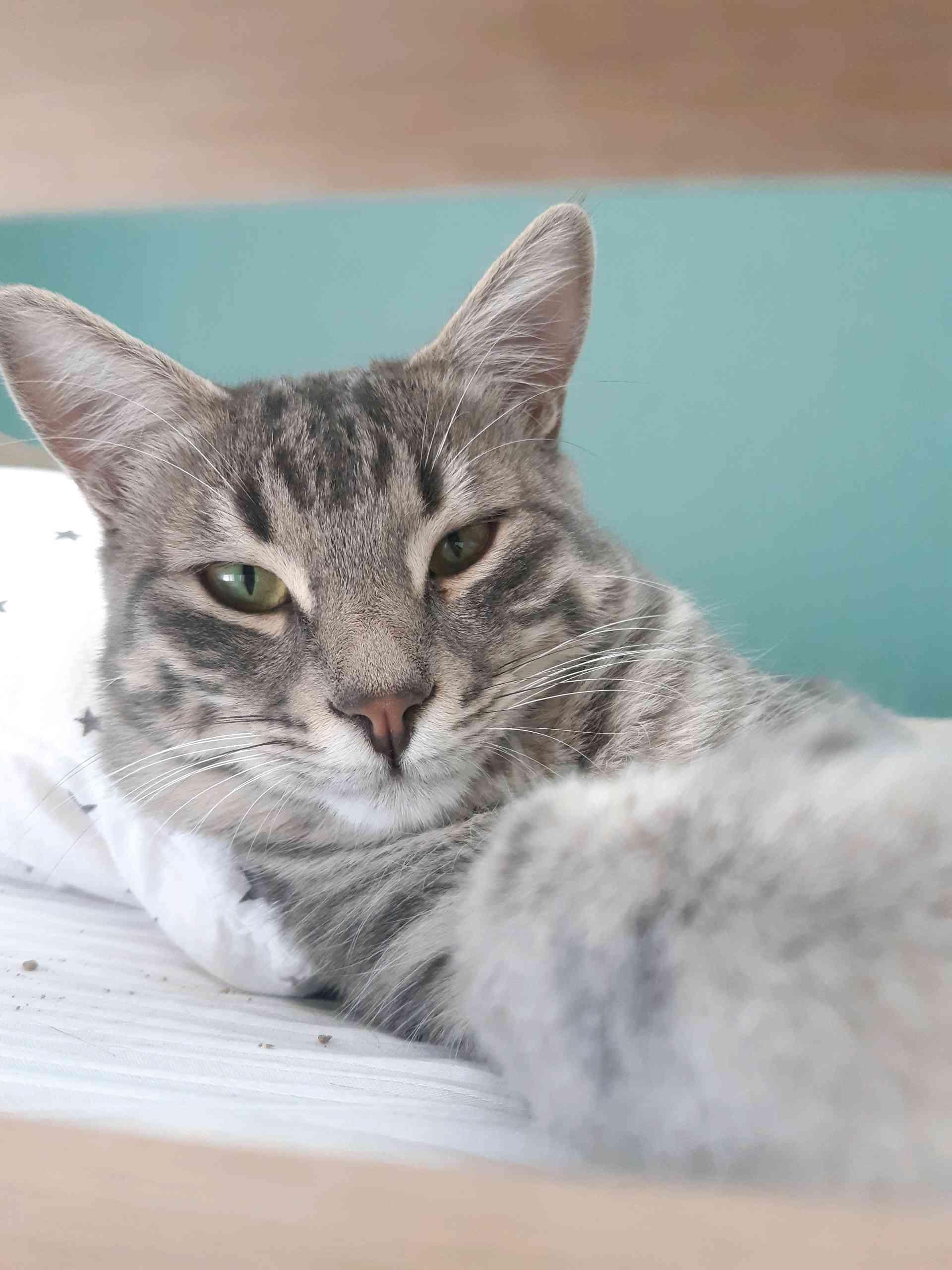 Konya Selçuklu'da Yeşil gözlü Gri Tekir Kedim kayboldu!