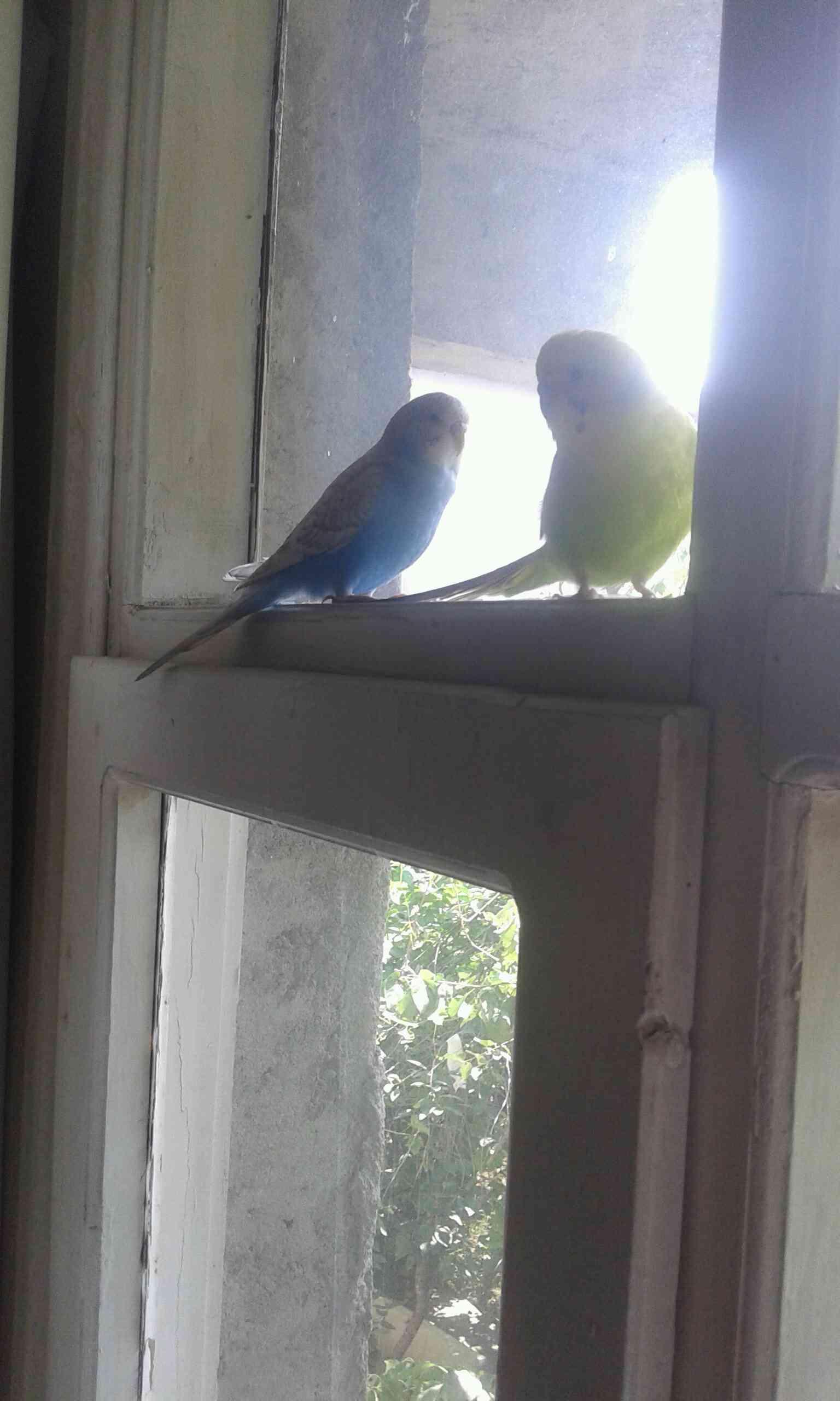 İstanbul sanc.tepede sarı yeşil muhabbet kuşum kayboldu
