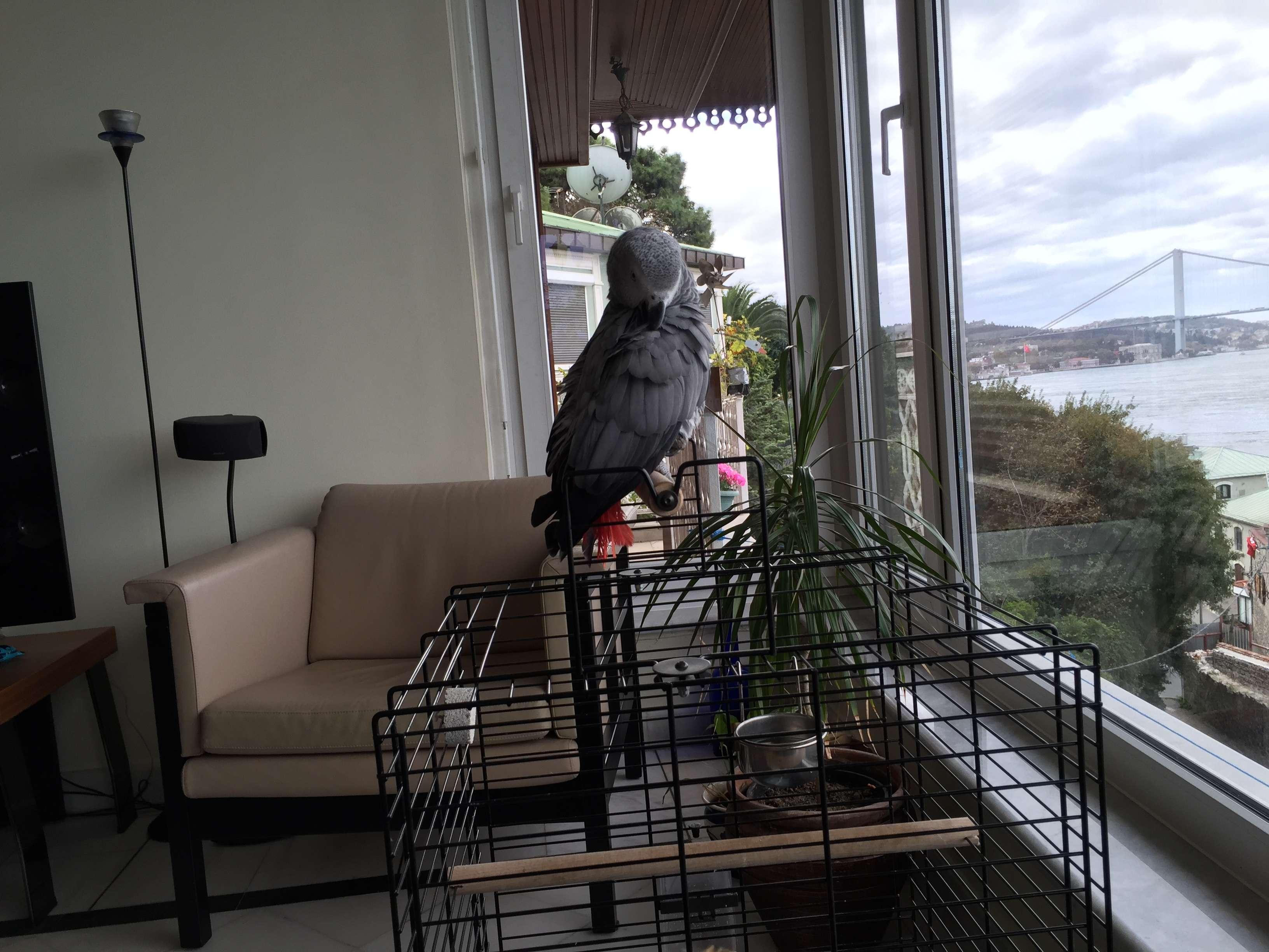 Kayip jako papagan