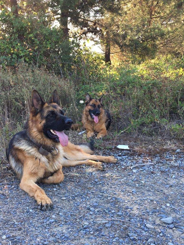 2 yaşında Alman çoban köpeğimiz kayıp