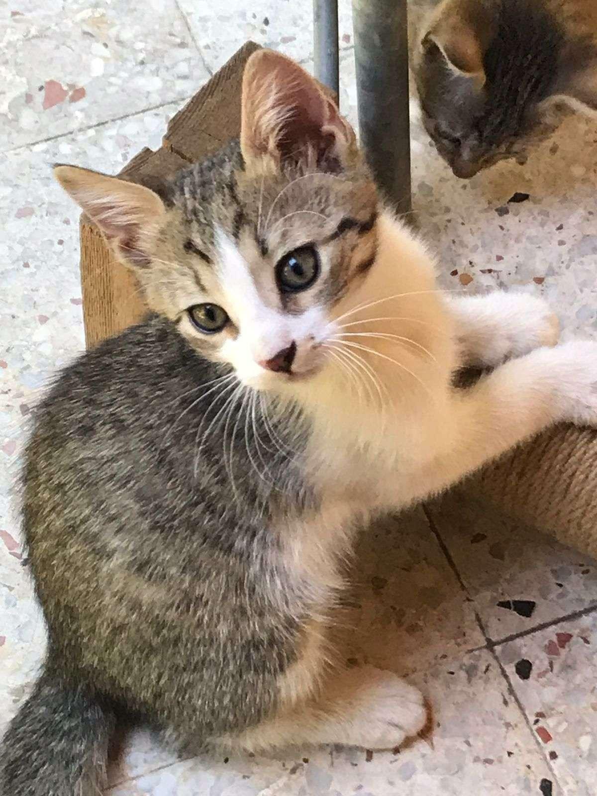 Kayıp Yavru Erkek Kedi