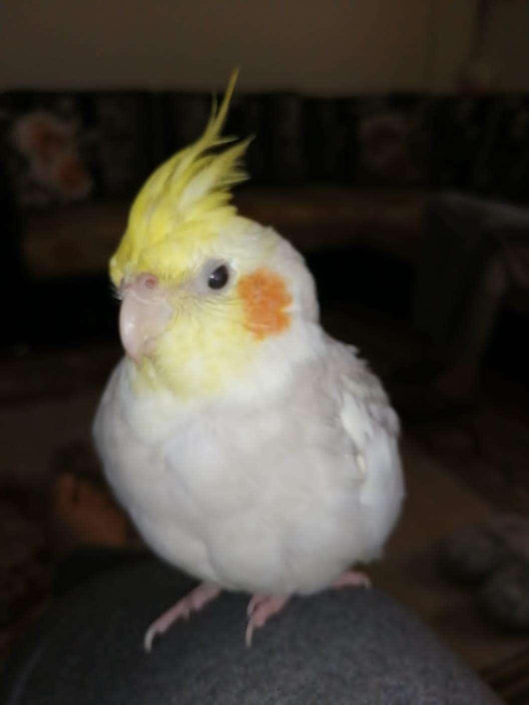 Depremde Kaybolan Sultan Papağanı