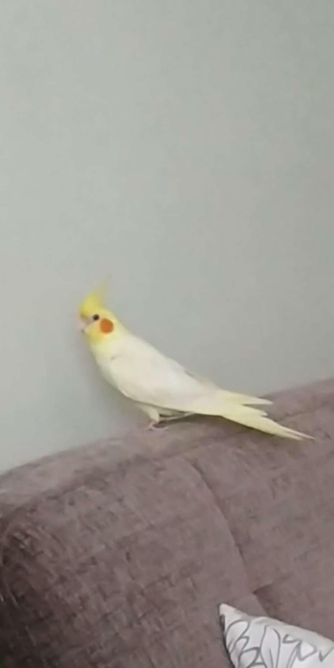 Sultan papağanı mız kayıp