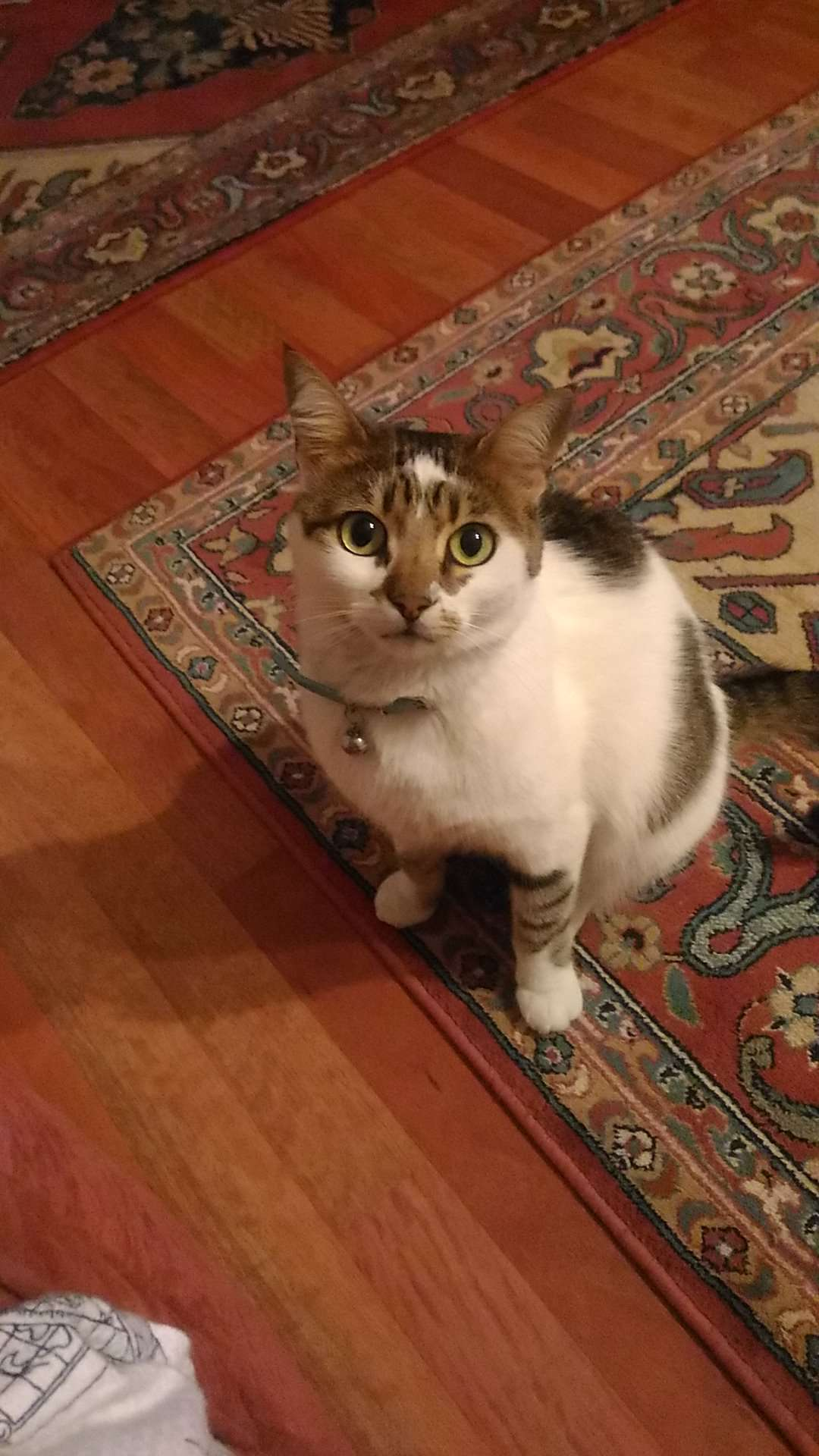 Eryaman 3. Etap Concept Eryaman civarı kayıp kedi
