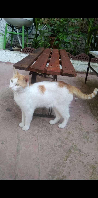 İzmit'te kayıp turuncu-beyaz tekir kedi buldum