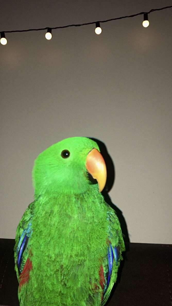 Aşkım papağan