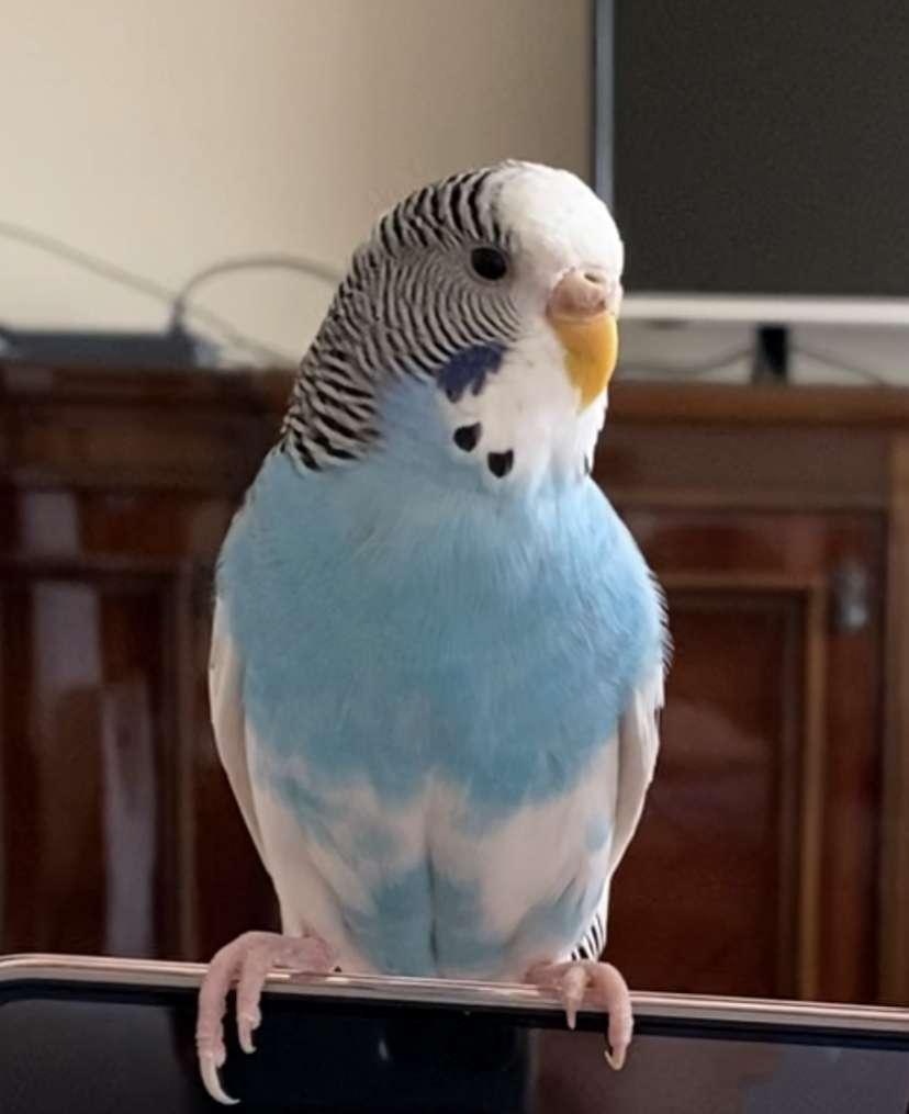 Manisa Kayıp Muhabbet Kuşu