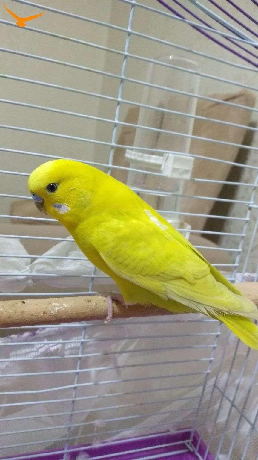 Sarı muhabbet kuşu buldum