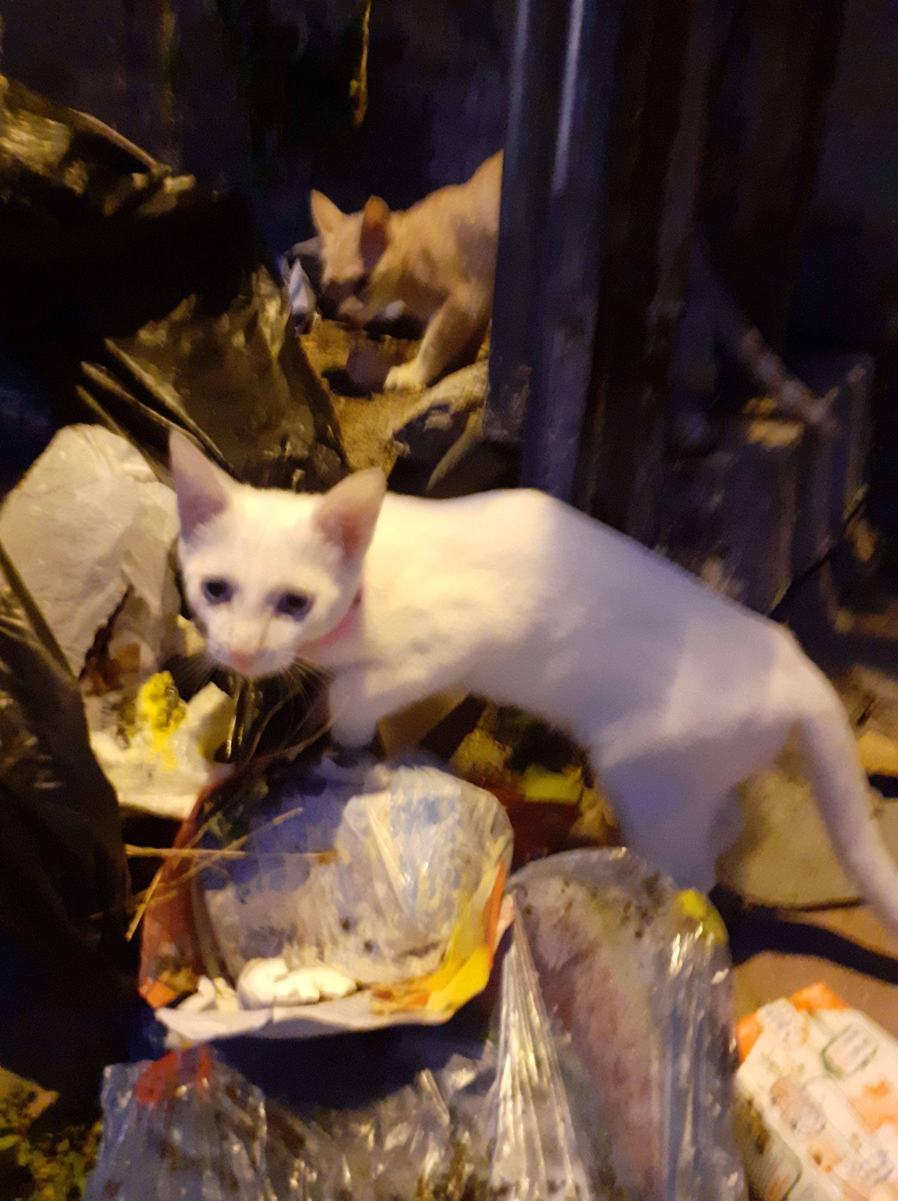 Keçiörende beyaz yavru kedi bulundu sahibi aranıyor!