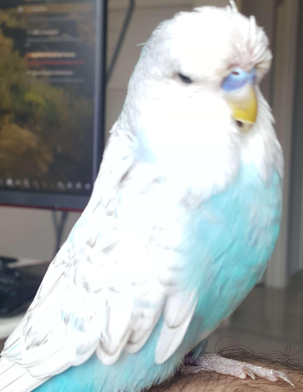 Muhabbet Kuşu Show Jumbo Kayıp