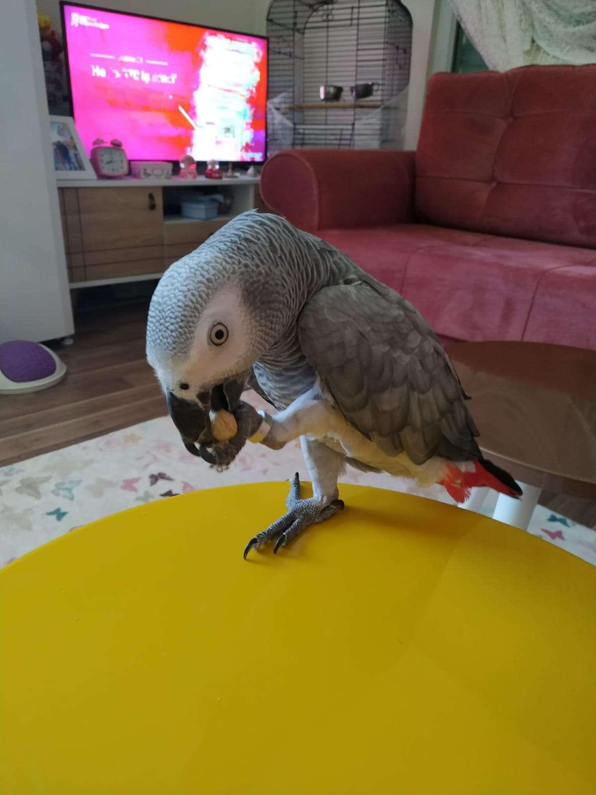 Kayıp jako papağanı 1 yaşında