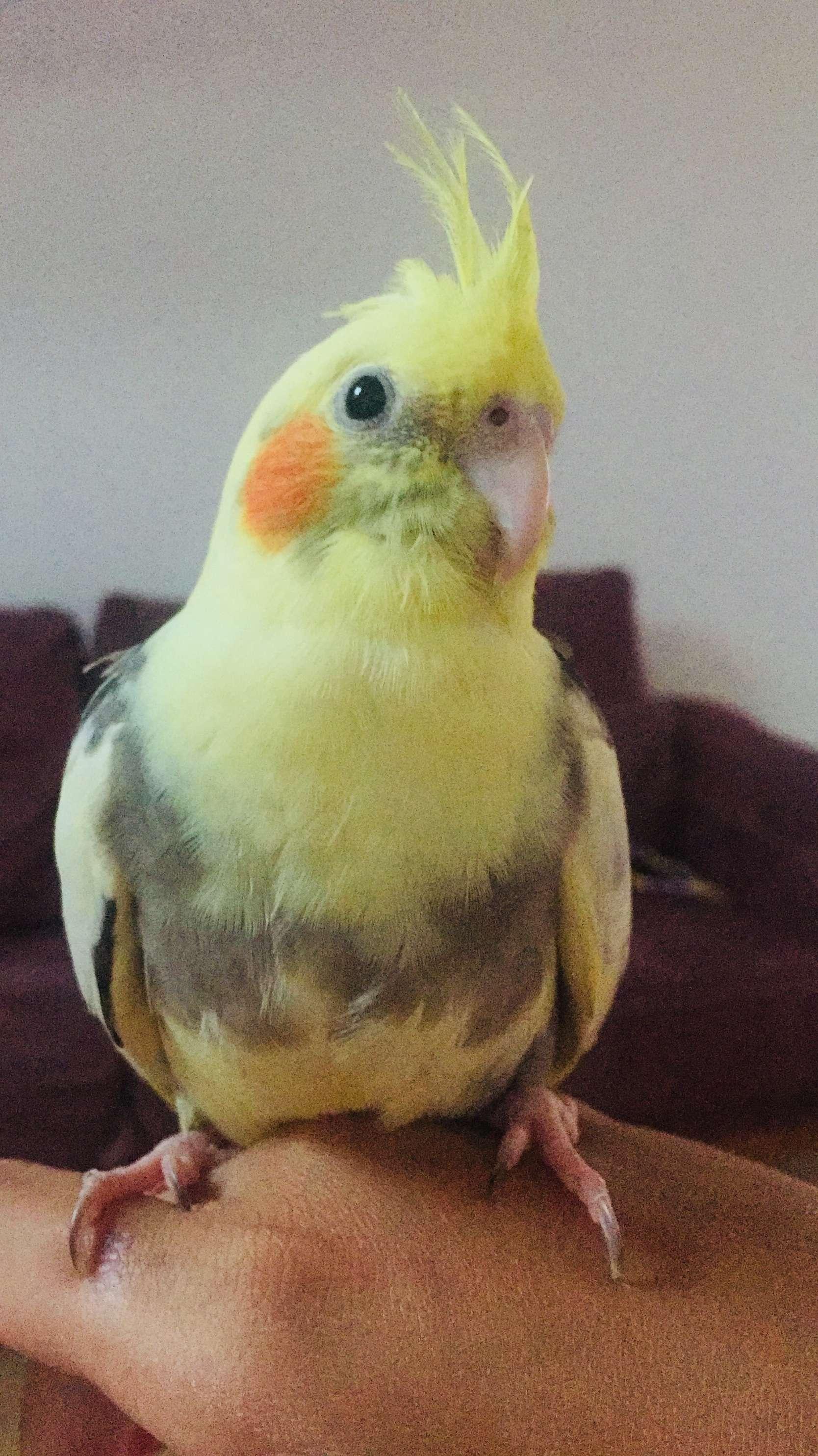 Sultan Papağanım kayboldu