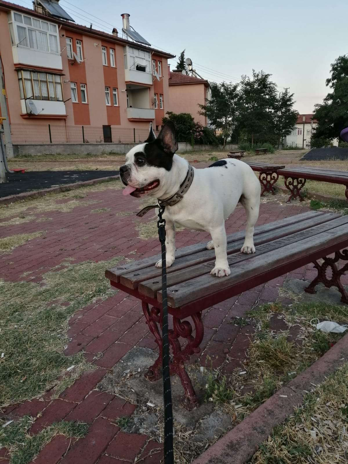 İstanbul Şirinevler de kayıp Fransız Buldog cinsi kayıp köpeğimiz Alex