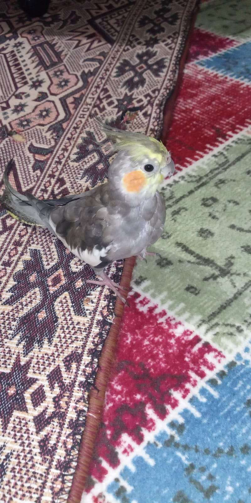 8 9 Aylık Kayıp Sultan Papağanı Fıstık