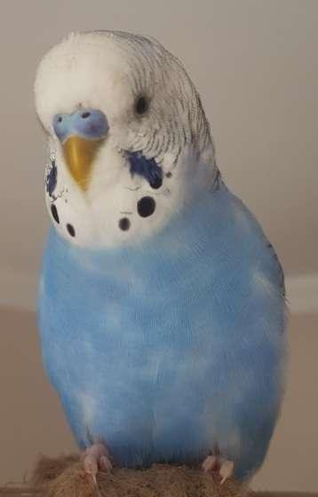 Ümraniye/Tatlısu Mavi Muhabbet Kuşu