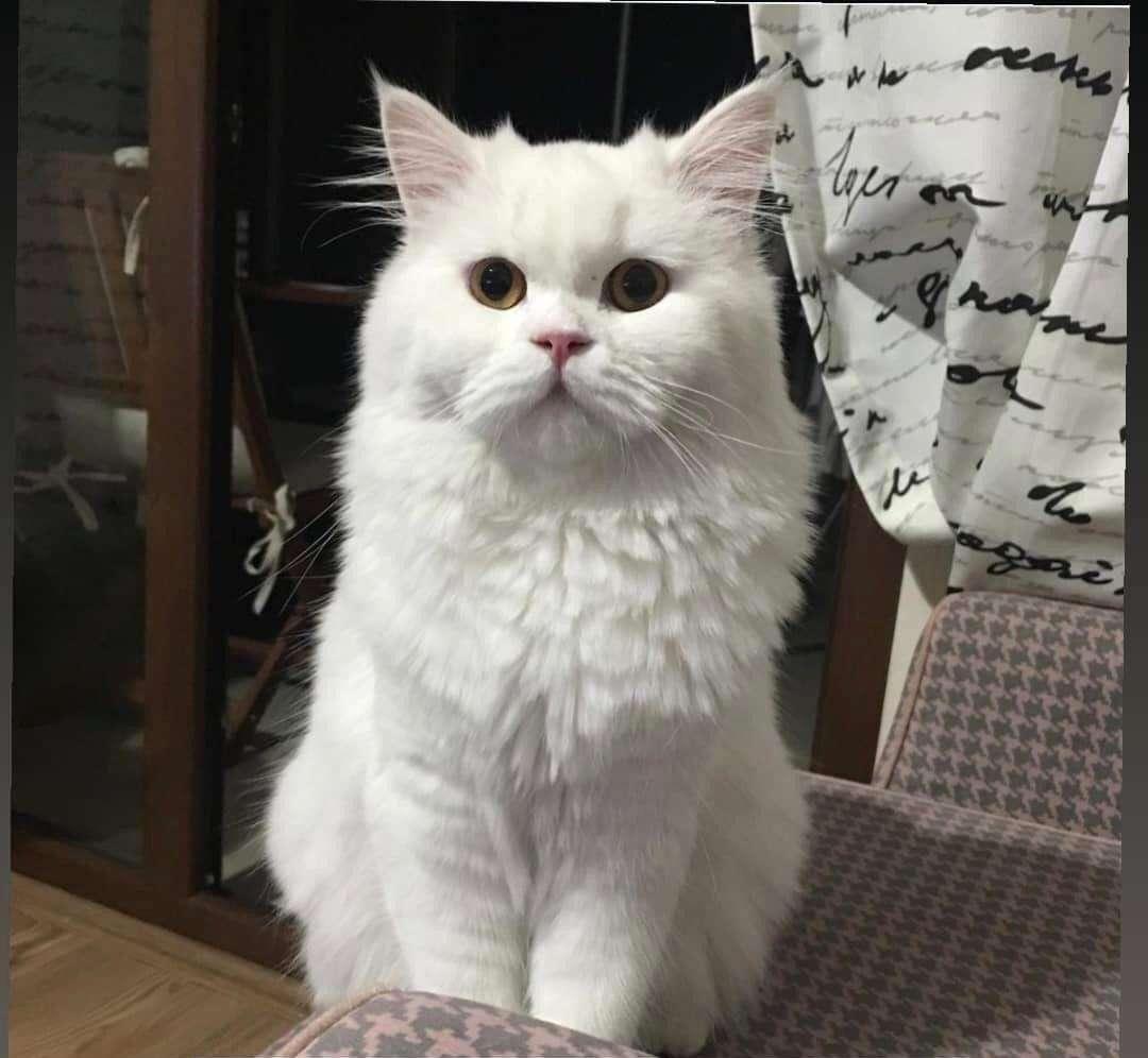 Pamuk adlı kedimiz kayıp