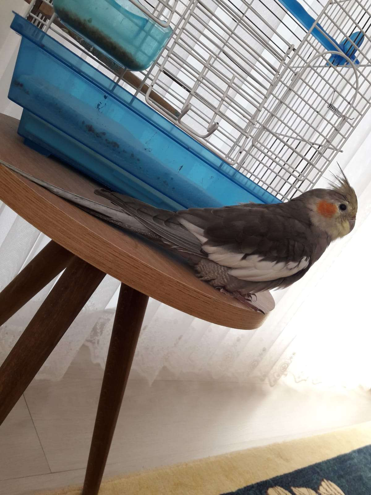 Kayıp Sultan Papağanı 7 Aylık Adı Paşa