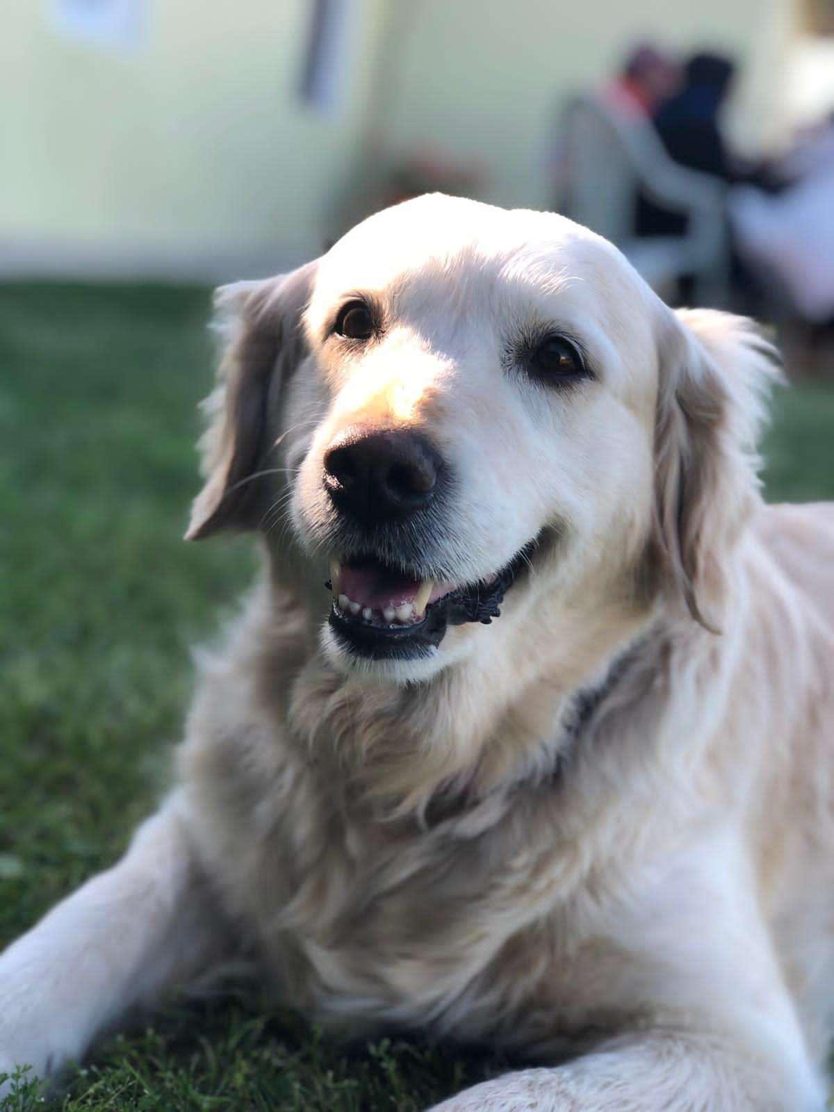 Kayıp Golden Köpek