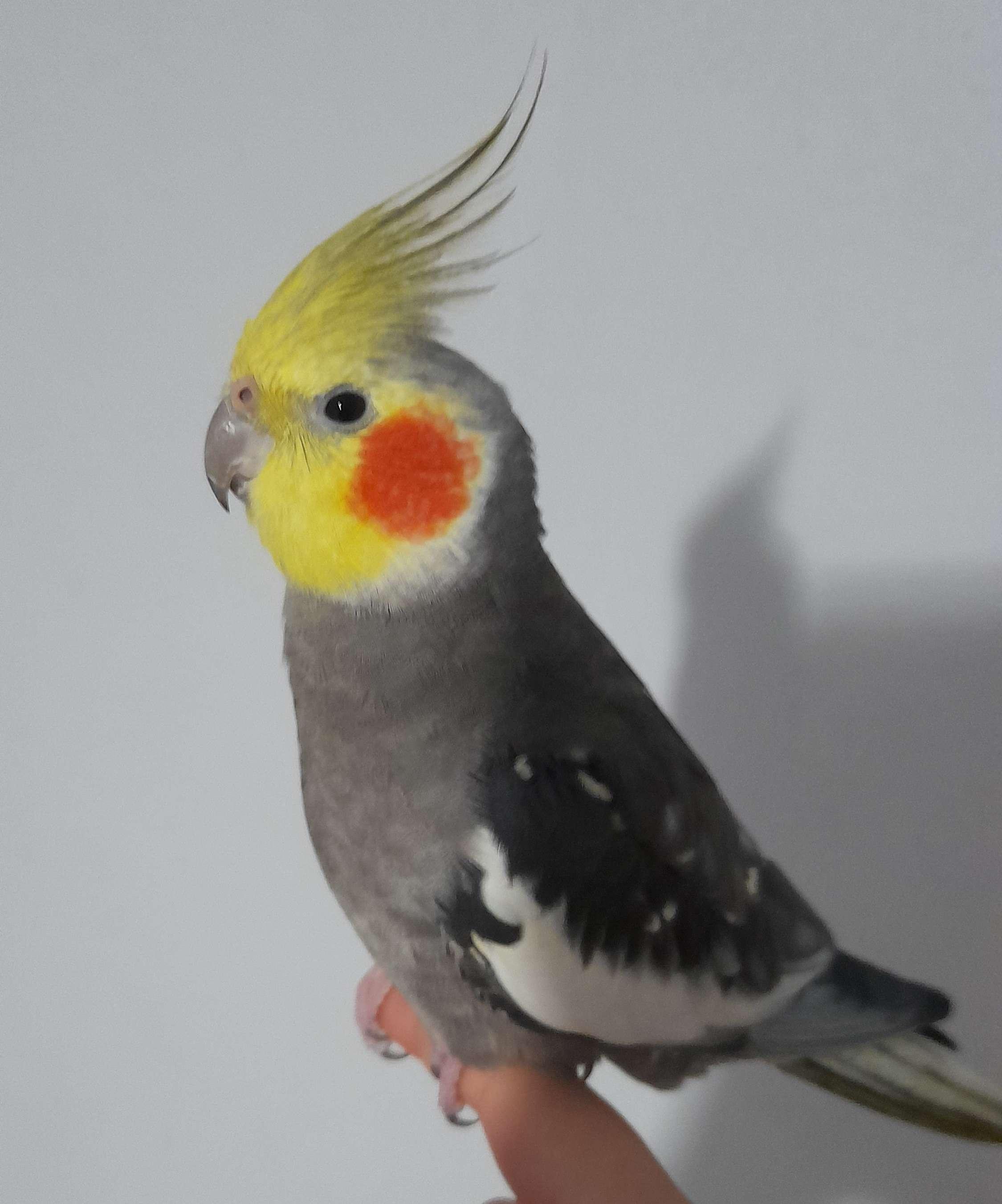 Sultan papağanım kayıp