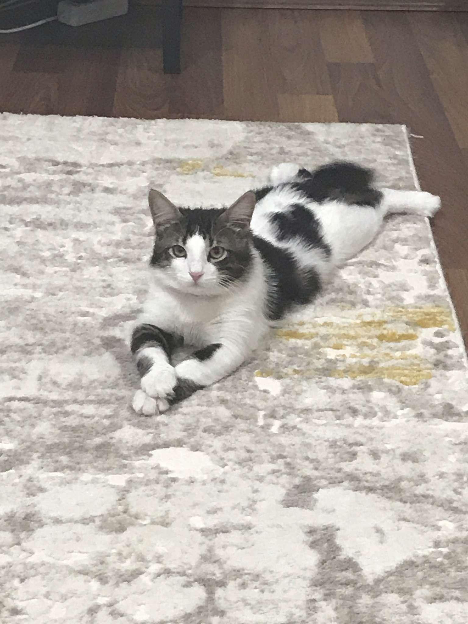 kayıp kedi pofi