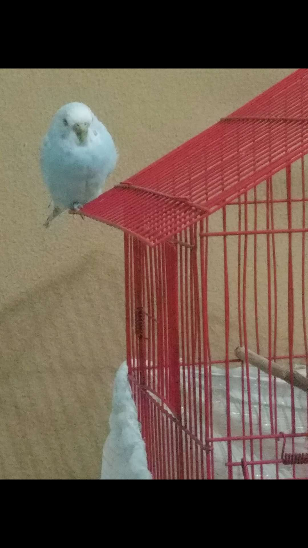KayıpbMavi Muhabbet kuşu