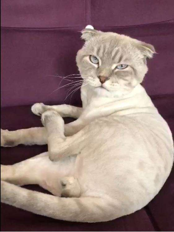 10 Aylık Erkek Scottish Kedimiz Kayıp