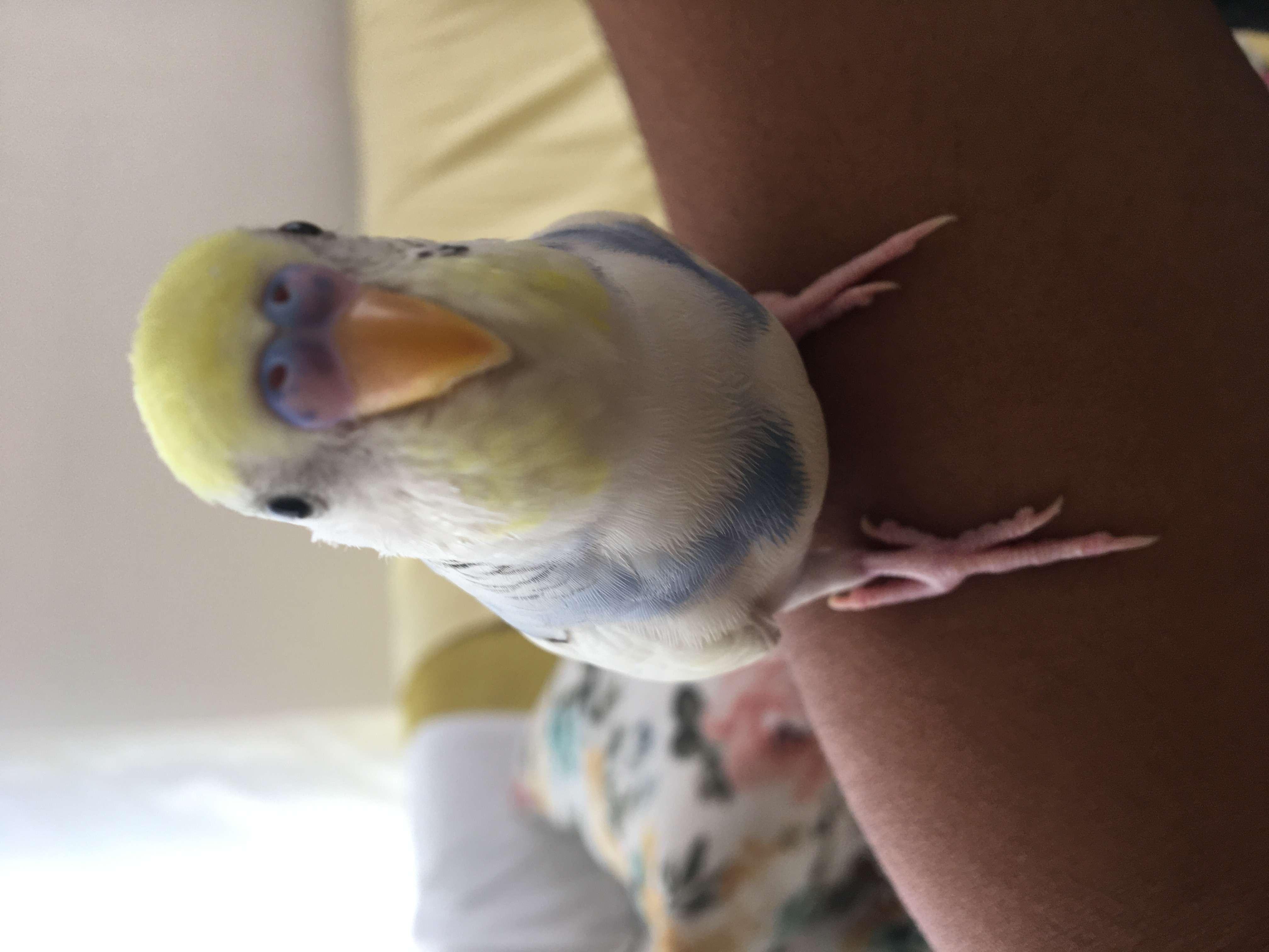 Muhabbet kuşum kaçtı