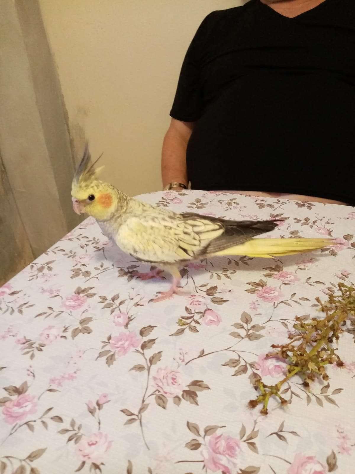 Kavacık kayıp sultan papağanı