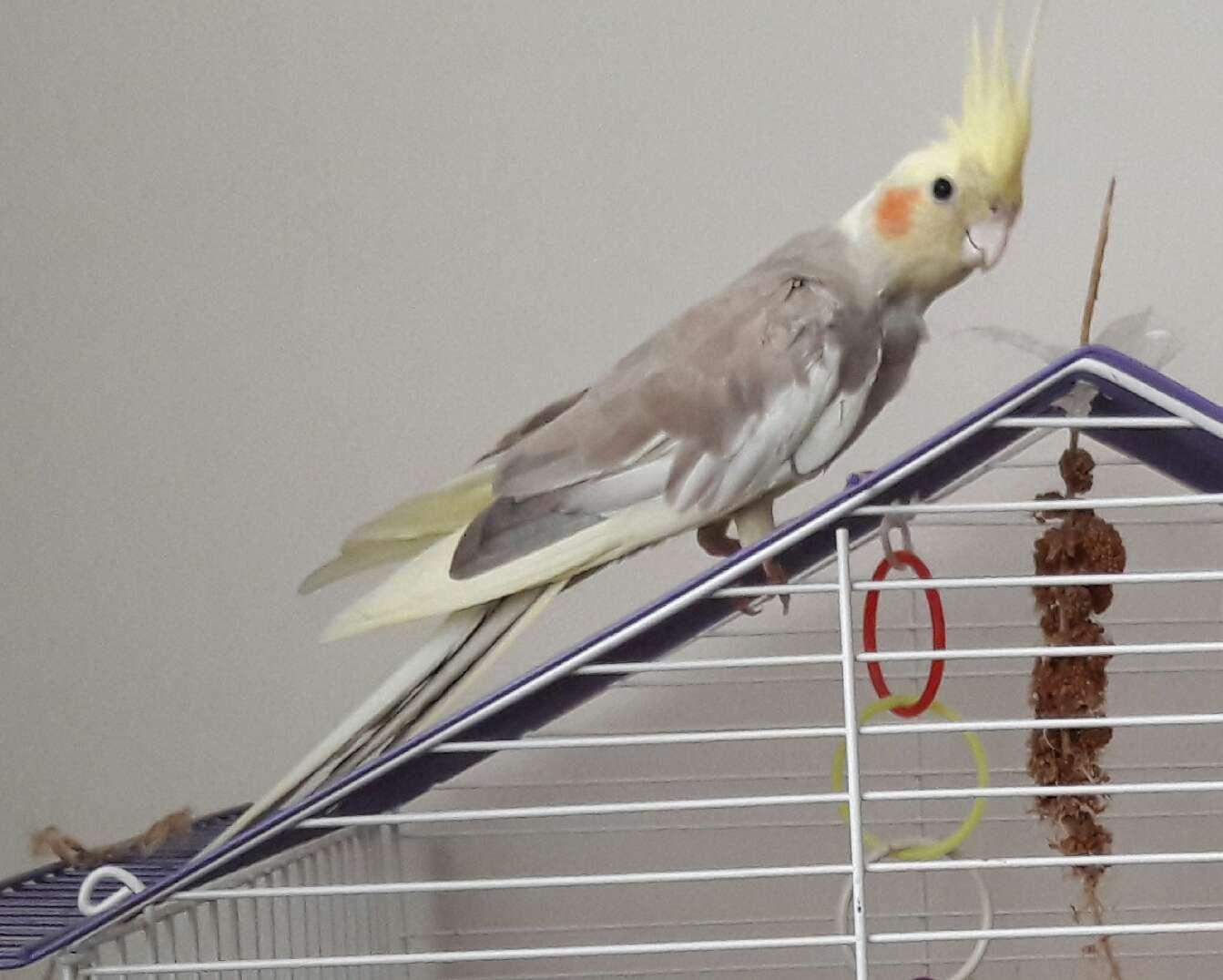 Sultan papağanımız kaybolmuştur!!
