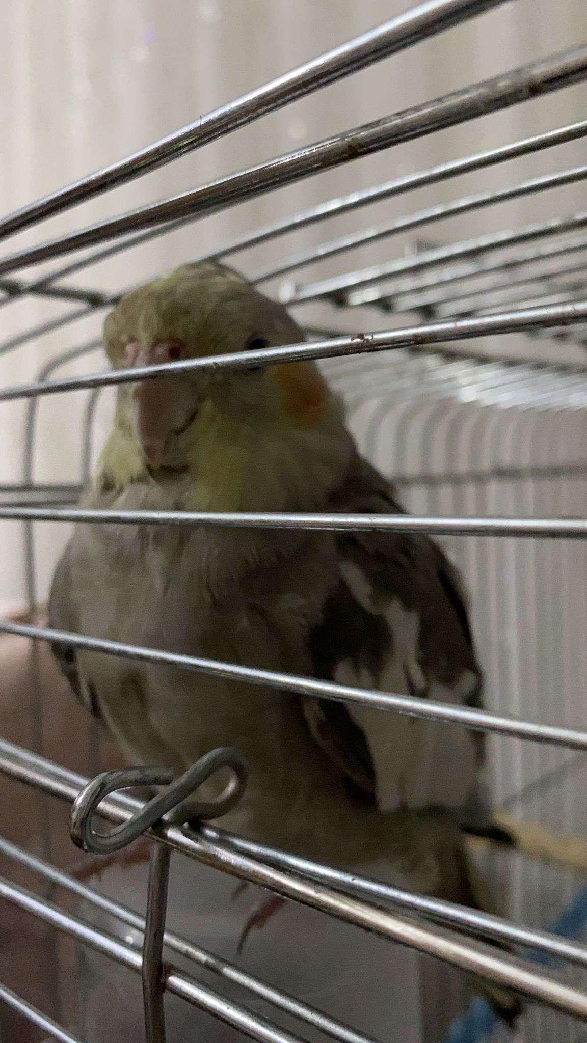 Sultan papağanı ACİLL
