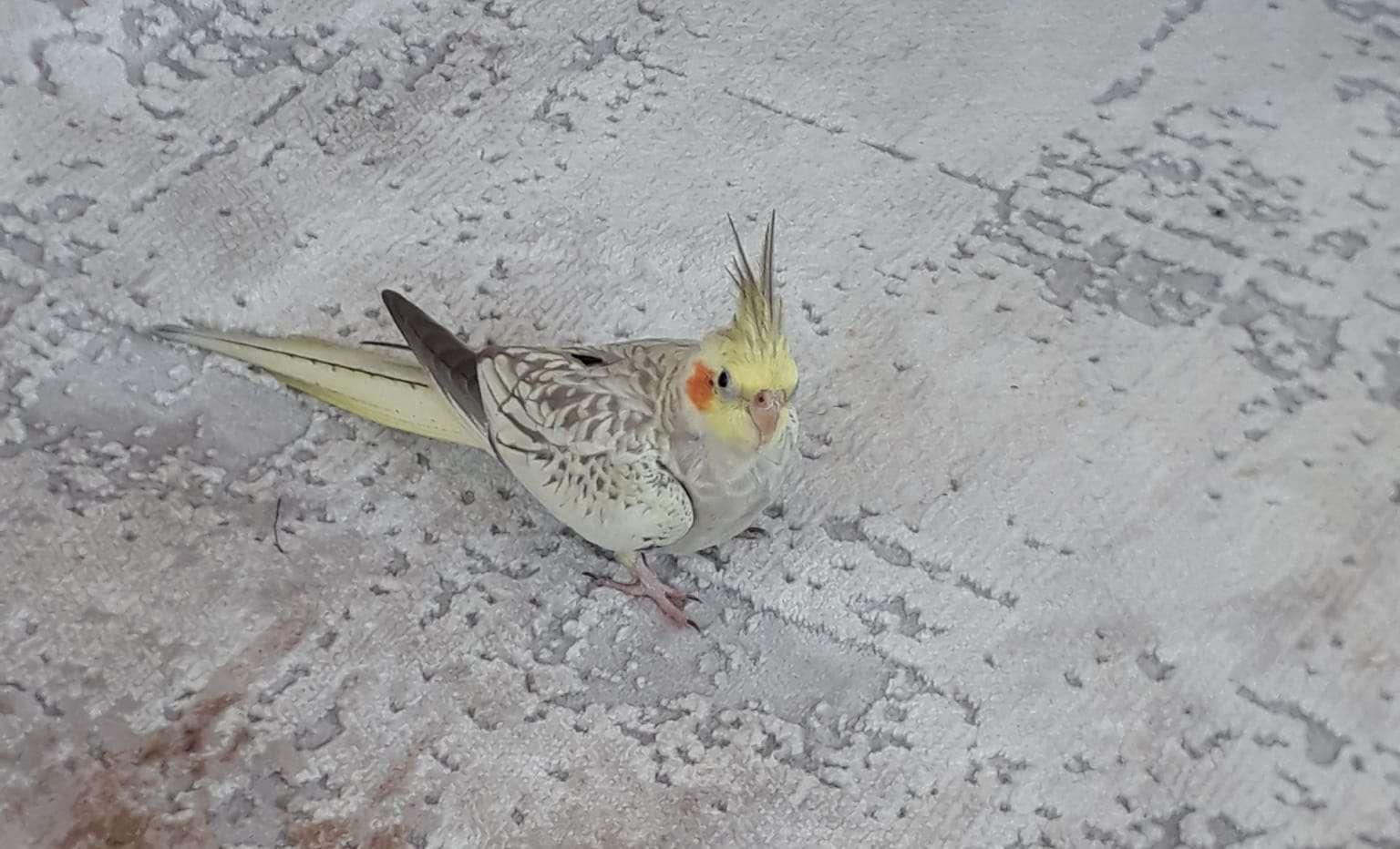 Antalya Kayıp Sultan Papağanı