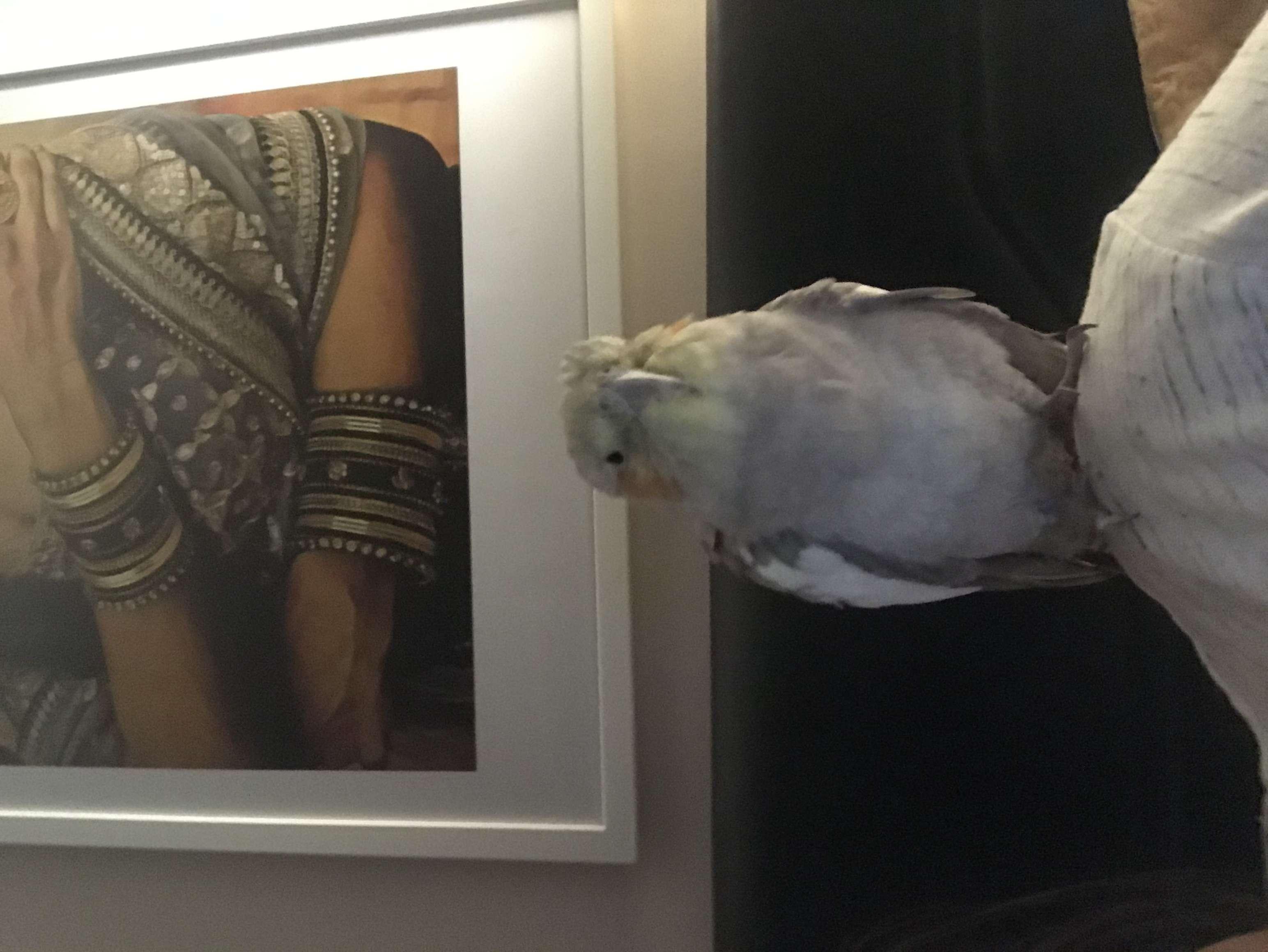 Sultan Papağanı Sahibi aranıyor!!