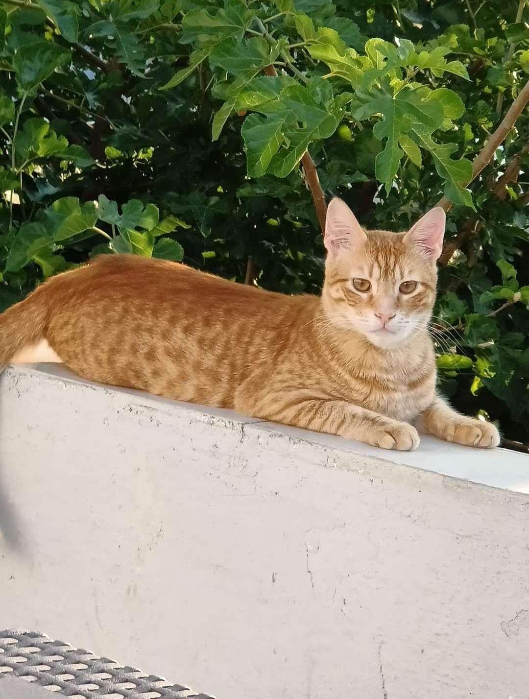 Acil kayıp Sarman kedi