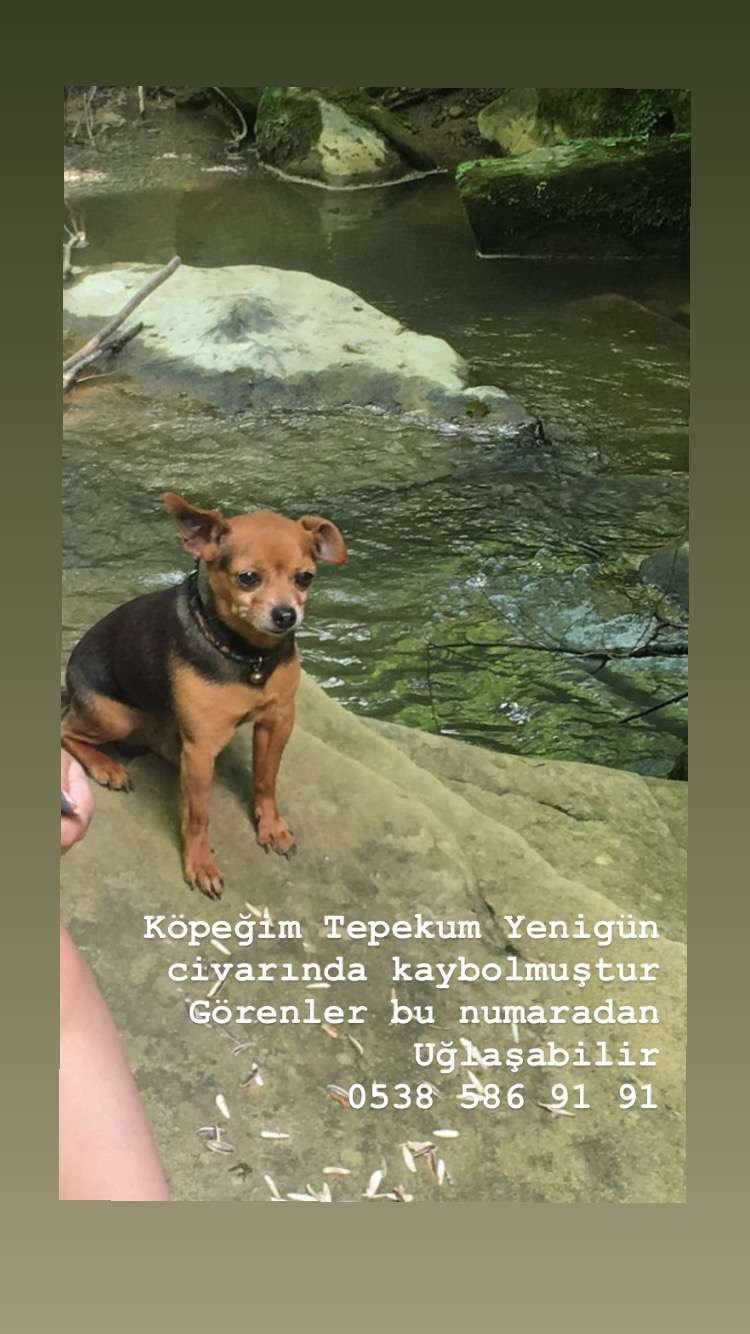 Sakarya Adapazarı kayıp köpek