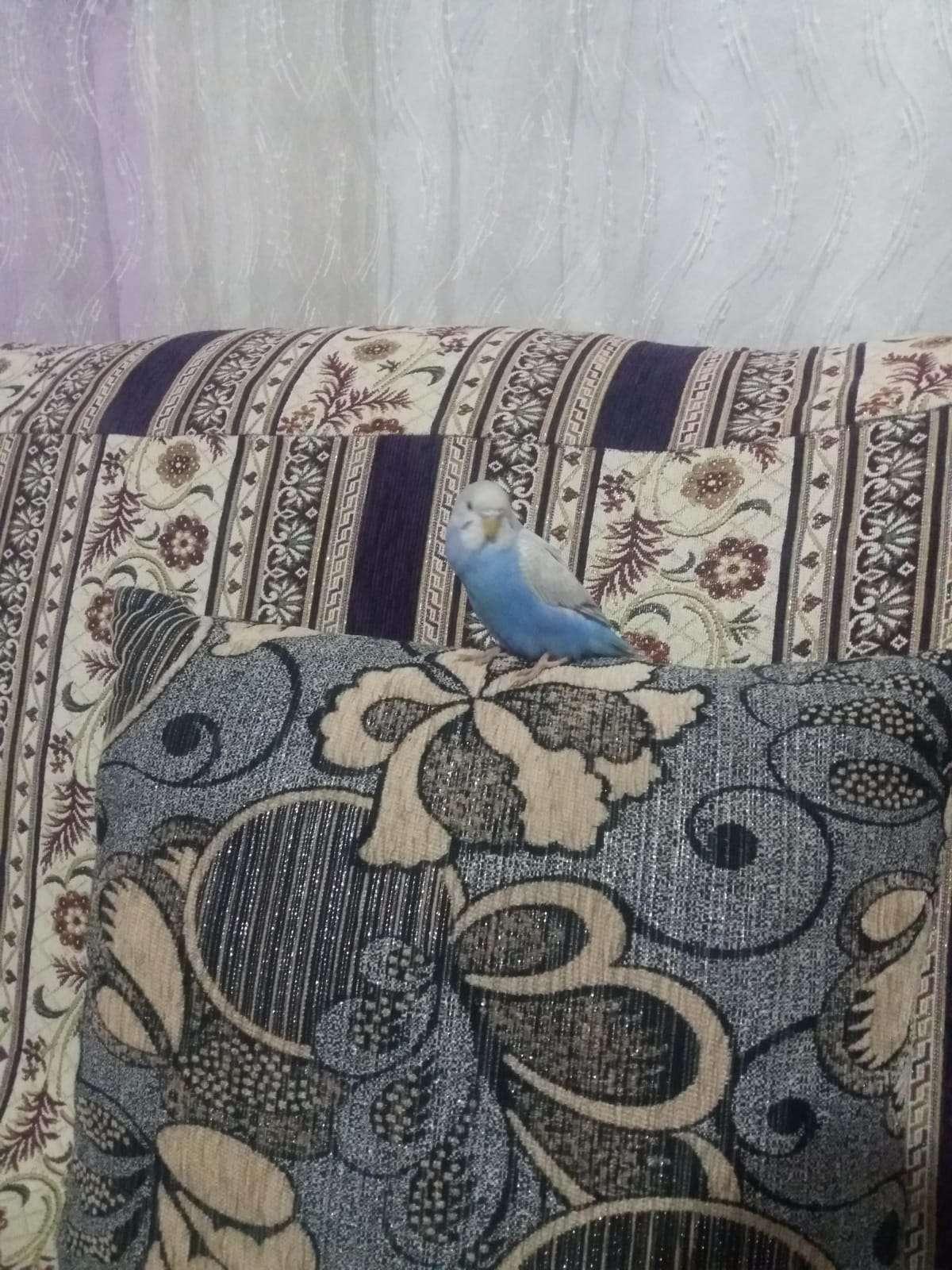 Govdesi mavi kanatlari beyaza benzeyen muhabbet kuşumuz kayboldu
