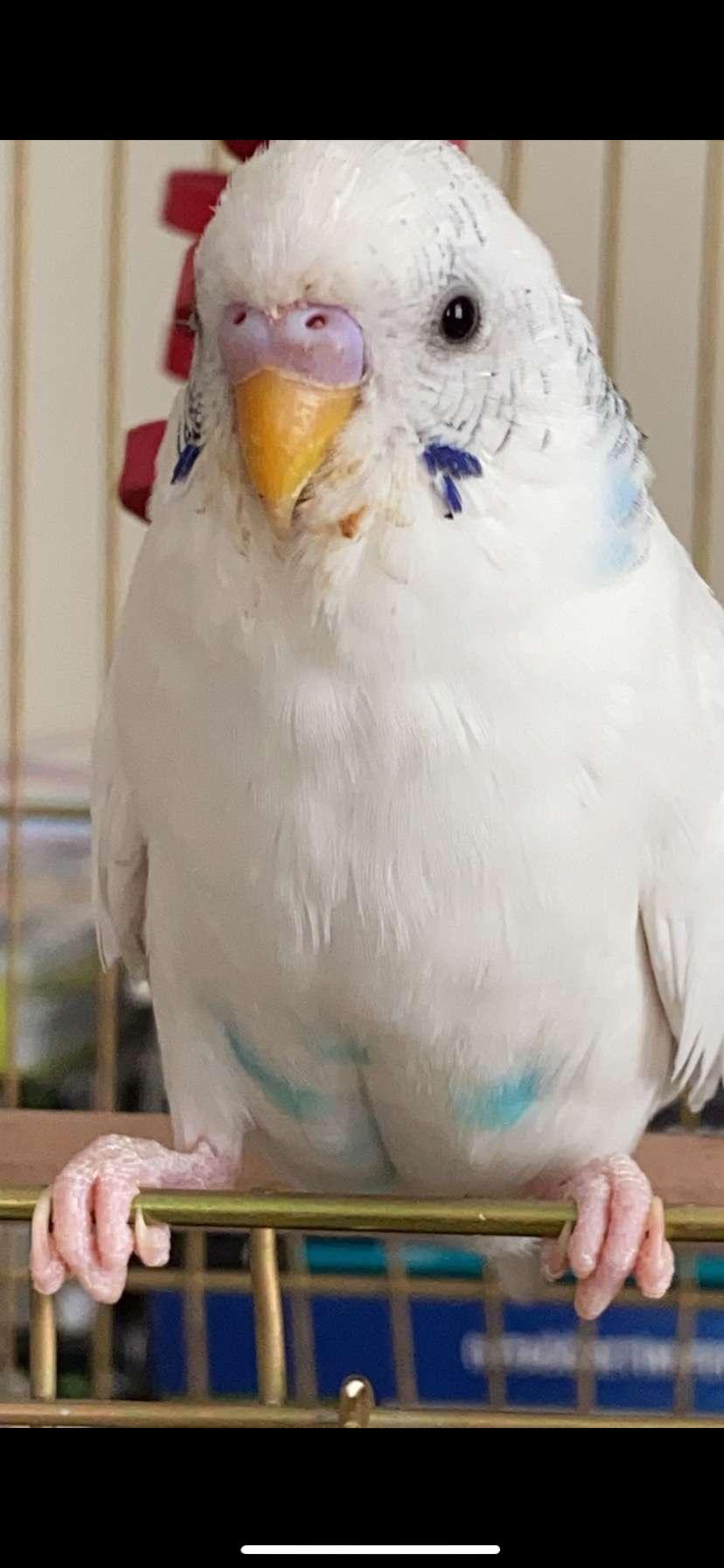 Ödüllü Kayıp Muhabbet Kuşu