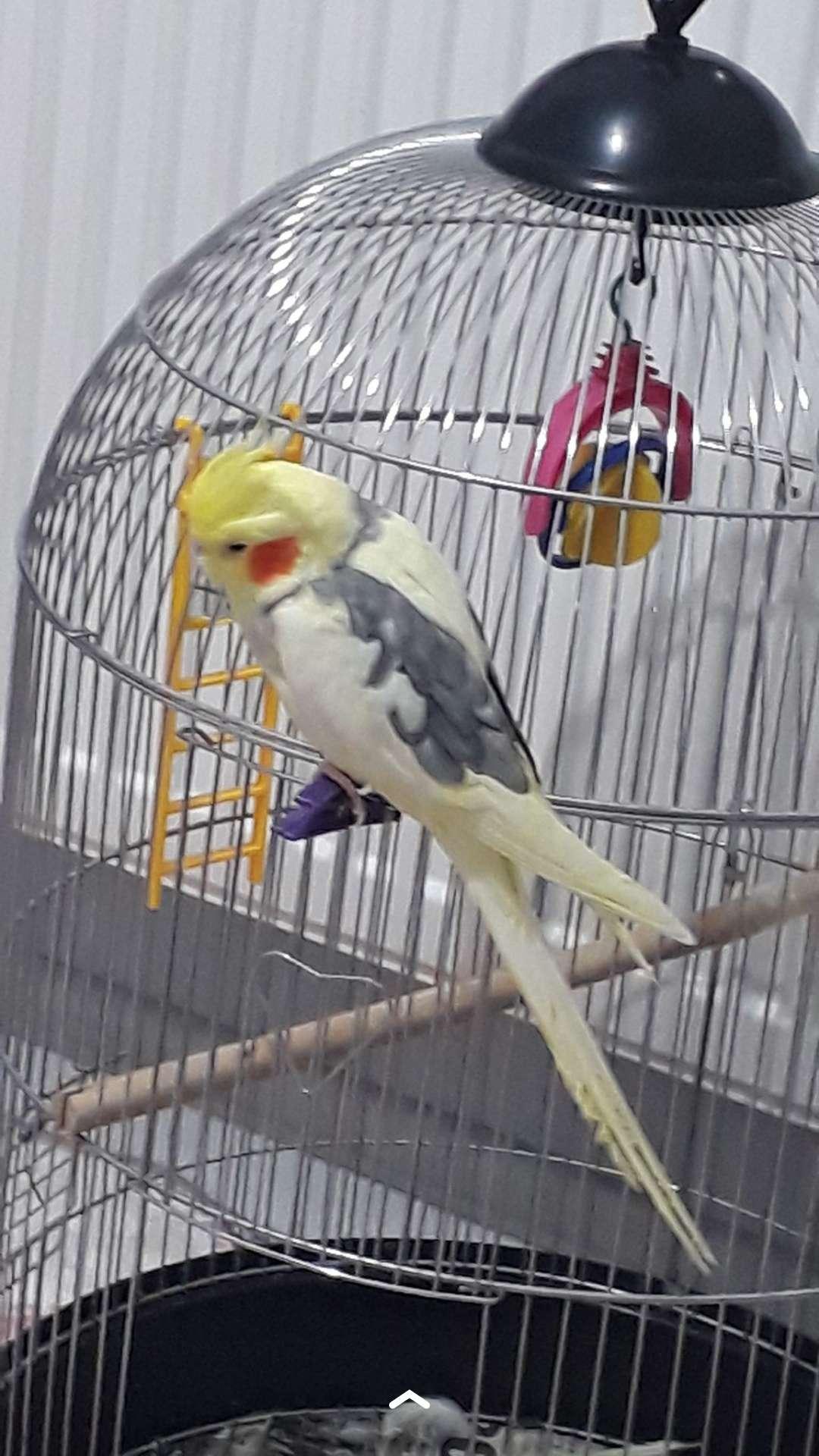 Sultan papağan kayıp